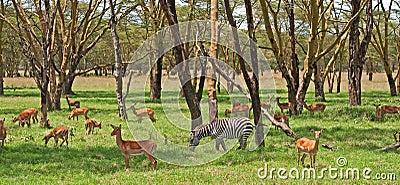 Gazeli dotaci s zebra