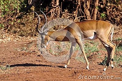 Gazelle Africa