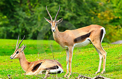 Gazelle anslags- s