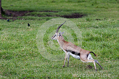 Gazelles, Nakuru