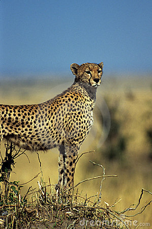Free Gazing Cheetah Royalty Free Stock Photo - 48785