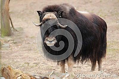 Gazing musk ox