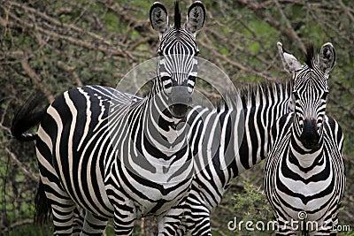 Gazing parent and kid of zebra