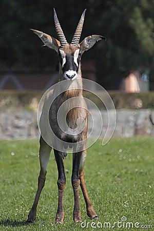 Gazing roan antelope