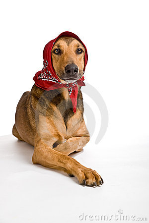Gdy przebranego psiego kapiszonu mały czerwony jeździecki wilk