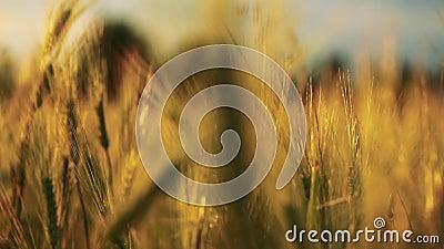 Gebied van tarwe door de wind dicht bij cameramening uit nadruk langzaam wordt geblazen die stock footage