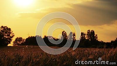 Gebied van tarwe door de wind dicht bij cameramening uit nadruk langzaam wordt geblazen die stock videobeelden