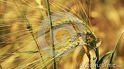 Gebied van tarwe door de wind langzaam wordt het geblazen die bekijkt dicht stock videobeelden