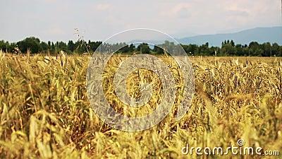 Gebied van tarwe door de wind met bos op achtergrond langzaam wordt geblazen die stock video