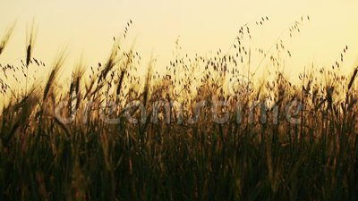 Gebied van tarwe door de wind met bos op achtergrond langzaam wordt geblazen die stock footage