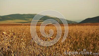Gebied van tarwe langzaam door de wind dicht bij cameramening wordt geblazen met bergen op achtergrond die stock footage