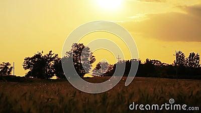 Gebied van tarwe langzaam door de wind wordt het geblazen bekijkt dicht met hemel en bomen op achtergrond die stock videobeelden
