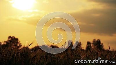 Gebied van tarwe langzaam door de wind wordt het geblazen bekijkt dicht met hemel en zon op achtergrond die stock video