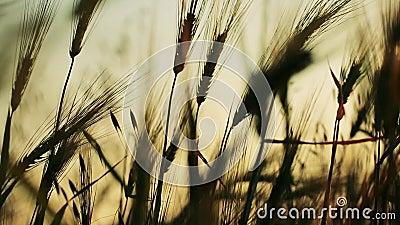 Gebied van tarwe langzaam door de wind wordt het geblazen bekijkt dicht met hemel op achtergrond die stock video