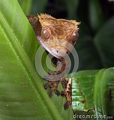 Free Gecko Royalty Free Stock Photos - 10849408