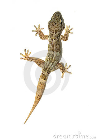 Free Gecko Stock Photos - 150263