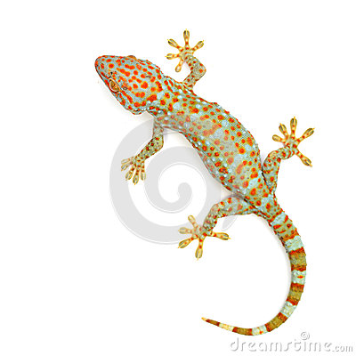 Free Gecko Stock Images - 45984914