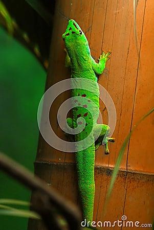 Gecko