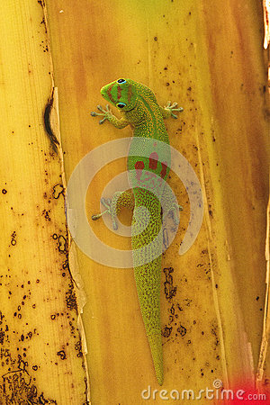 Free Gecko Stock Photos - 94424743