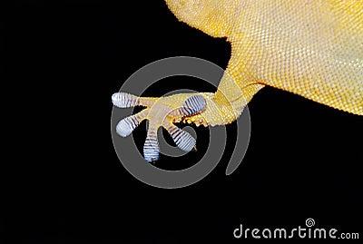 Gecko anterior leg