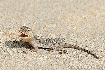 Gecko on beach