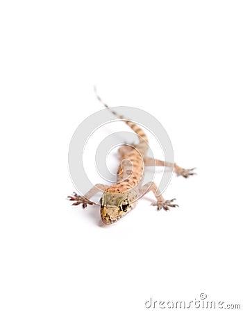 Gecko cobarde