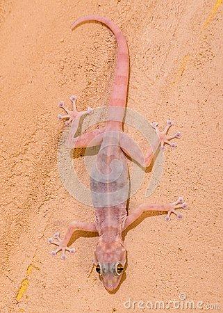 Gecko en la pared