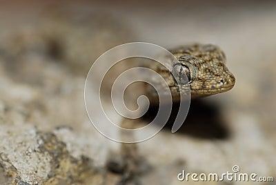 Gecko (Fam. Gekkonidae) in Azrou, Middle Atlas, Morocco
