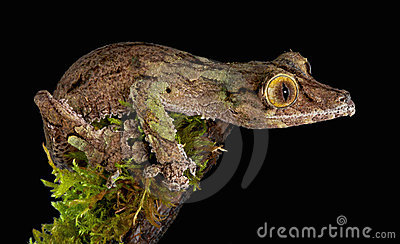 Gecko fissare