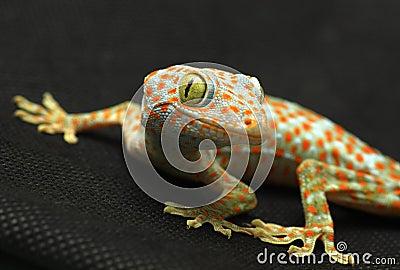 Gecko looking camera
