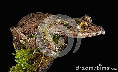 Gecko olhar fixamente