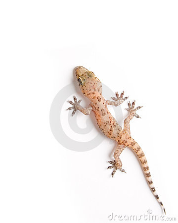 Gecko s élevant