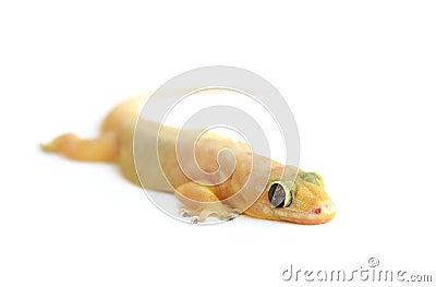 gecko  small lizard