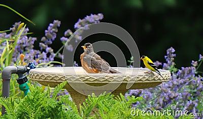 Geel vink en robin share een bad stock foto afbeelding 82297250 - Foto in een bad ...