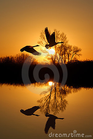 Free Geese And Riparian Reflection Royalty Free Stock Image - 4383756
