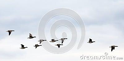 Geese on autumn sky