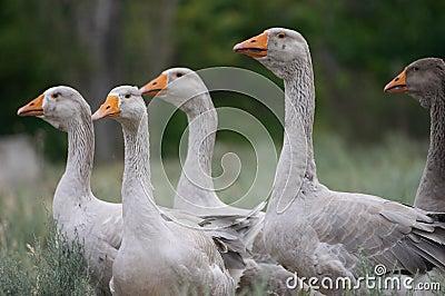 Geese brood