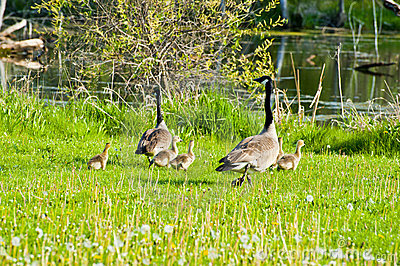 Geese and chicks running