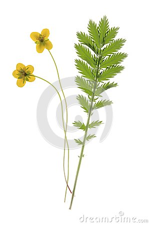 Free Geese Cinquefoil Royalty Free Stock Photography - 25469167