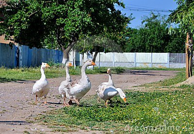 Geese in the countryside Romania