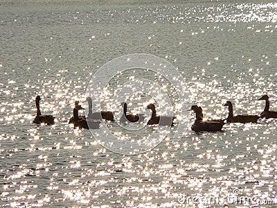 Geese on Diamonds