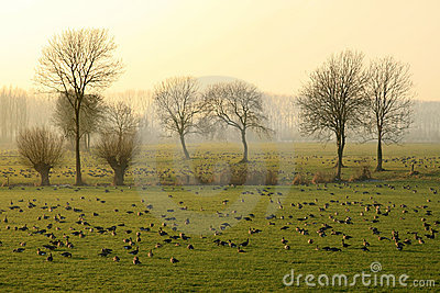 Geese in the evening light