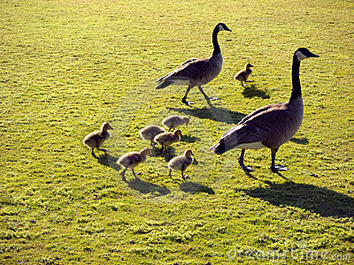 Geese family with goslings