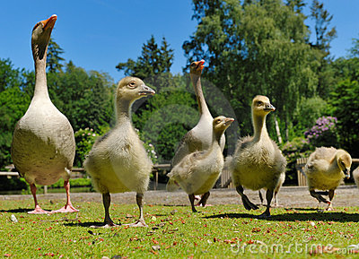 Geese family in spring