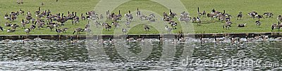 Geese Feeding.