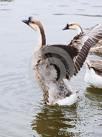 Geese flapping its wings