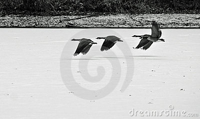Geese flying over a frozen lake