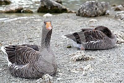 Geese at lake Kournas at island Crete