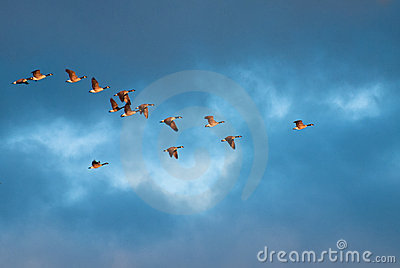 Geese in morning flight