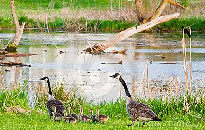 Geese parents
